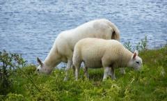 Цены на Овцы племенные в Украине