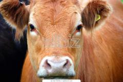 Calfs of cattle. KRS on mea