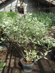 Cornus Alba (Derain Bely) Elegantissima C5, C7,5,