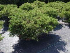 Можжевельник Горизонтальный Juniperus Horizontalis