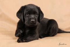 Amiksin veterinary - immunokorregiruyushchy and an