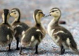 Ducklings daily French breed Mulard week,