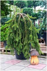 Picea Abies (ель обыкновенная) Inversa