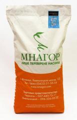 Цукрова кукурудза Фіона (Солодка Мрія) F 1, 100