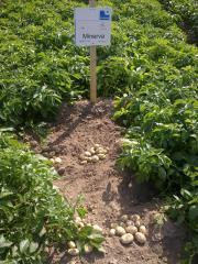 Ранний картофель для Профессионалов