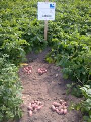 Able potato for Professoinalov