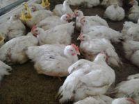 Цыпленок бройлер Кобб - 500 подрощенный живым