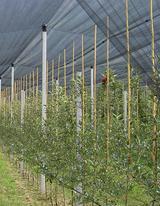 Бамбуковые опоры, Бамбуковые палки для рассадника,