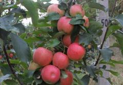 Яблоки Айдаред, продажа, Черновцы, Украина