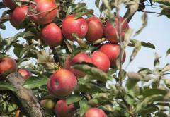 Яблоки Флорина, продажа, Черновцы, Украина