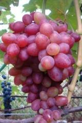 Grapes saplings Anjelica