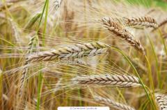 Grain barley. Barley. Wholesale from 2 tons.