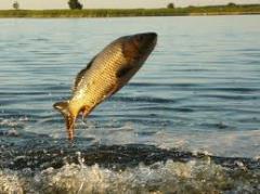 Рыба живая