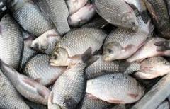 Рыба пресноводная