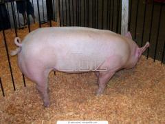Предлагаем свиней пород Большая белая, Ландрас, Дюрок, Петрен, Гибридная F1. Только оптовые поставки из Венгрии