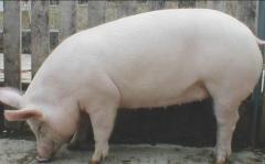 Свиньи племенные. Порода Большая белая. Только оптовые поставки из Венгрии