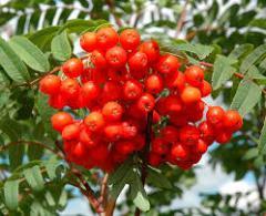 Рябина красная сушенная (Sorbus aucuparia)