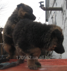 German long-haired sheep-dog, puppies