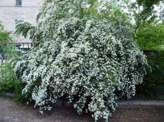 "Spirey Vangutt (a bush ""bride"")"