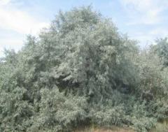 Olive wild (the sucker narrow-leaved) — saplings,