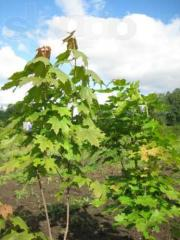 Maple acutifoliate (platanovidny, or