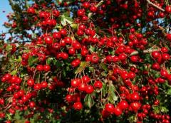 Hawthorn ordinary (glod) — saplings,