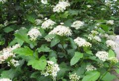 Puzyreplodnik kalinolisty (meadowsweet) —