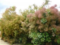 Skumpiya tanning (koggiriya), a parikovy tree —