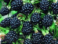 Sale of saplings of blackberry (ozhina)