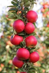 4. Apple-tree saplings on M9, M26 2-year-old.