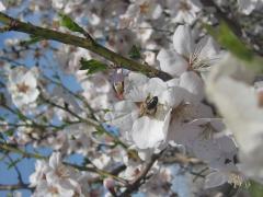 3. Almonds saplings.