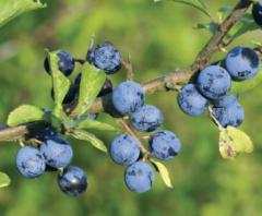 Sloe, blackthorn, or Plum prickly. Green hedge