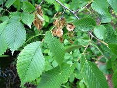 Saplings of an elm, ilm (karagach, karaich, birch
