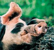 Поилки для свиней автоматические