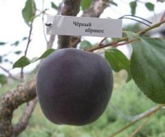 "Саженцы абрикос ""Черный принц"", абрикос"
