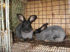 Чистокровные кролики породы Серебристый