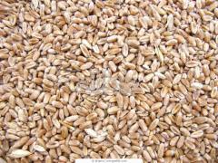Культуры кормовые зерновые