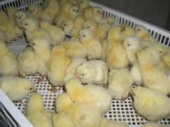 Box for daily chickens 600x400x140, boxes, boxes