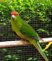 Попугай какарик, Новозеландский попугай зеленый