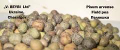 Пелюшка ( полевой горох) Pisum arvense