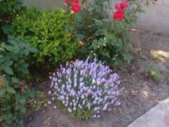 Саженцы кустов лаванды
