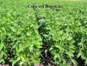 Grade soy seeds Ustya
