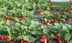 Saplings of strawberry (FRIGO) Albion, Portola,