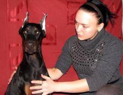 Dobermann terrier