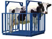 Scales for animals (cattle)