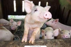 Свиньи для разведения стада
