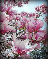 Seedlings of magnolias