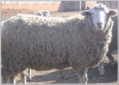 Овцы племенные мясные