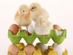 Инкубационное яйцо РОСС-308, КОББ-500 (Венгрия,