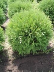Thuija occidentalis (Tui Zapadnaya) Little